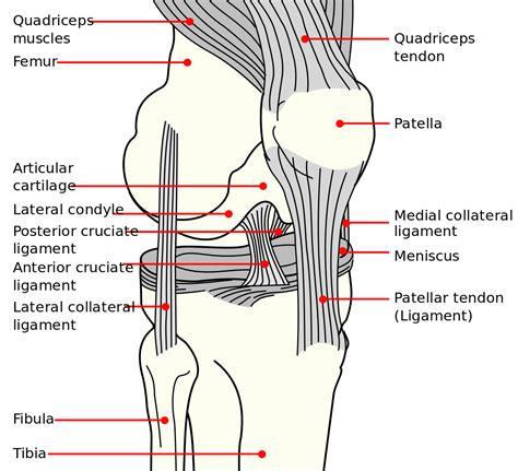 knee diagram anatomy