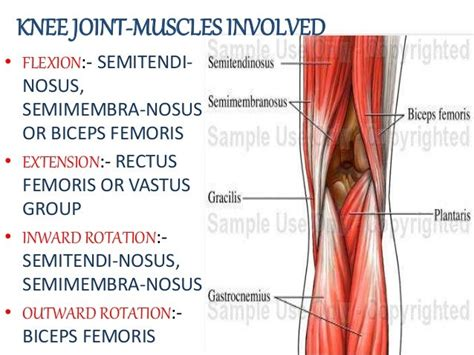 knee flexion muscles involved in running listed