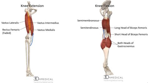 knee flexion muscles used in swimming diagram