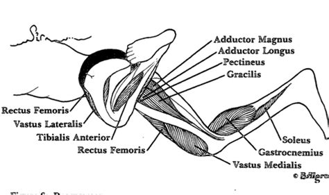 knee flexion muscles used in swimming strokes