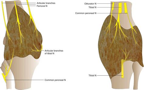 knee joint sensory innervation of tongue