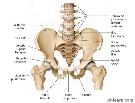 labeled diagram of hip bones and joints
