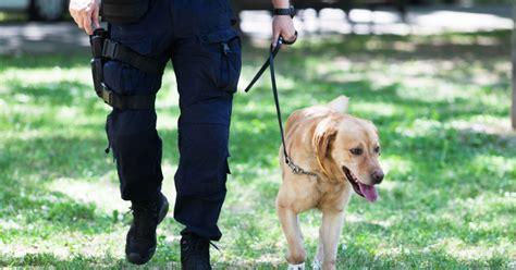 Labrador Attack Training