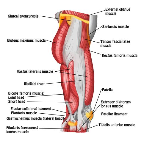 lateral hip musculature anatomy chart