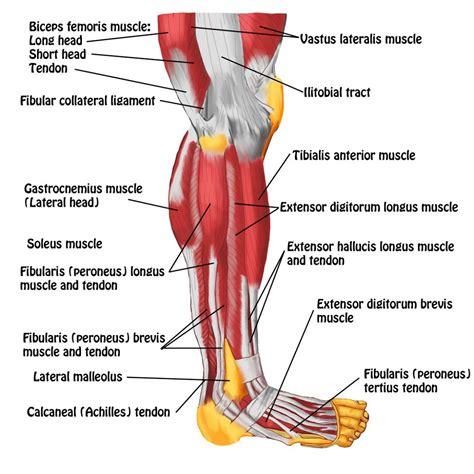 leg muscles anatomy diagram