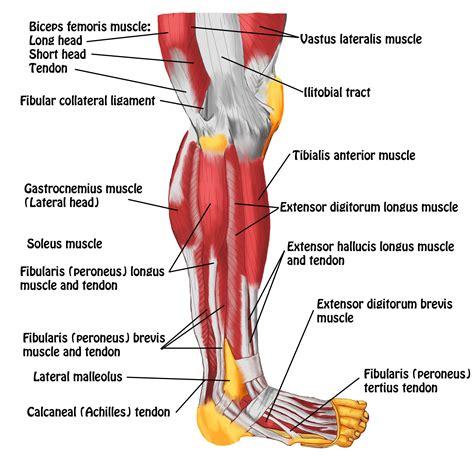 leg muscles diagram tendons human