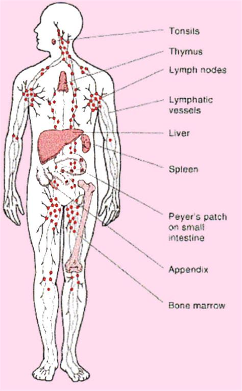 location of lymph nodes in legs location of appendix