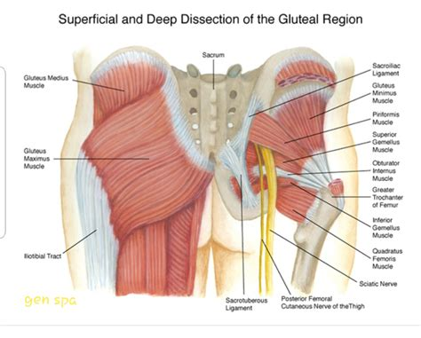 low back hip muscle diagram