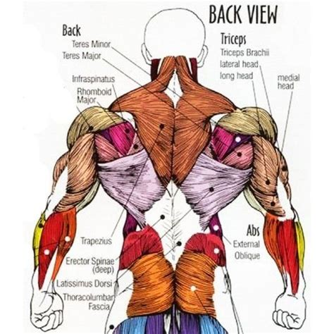 lower back muscles functions