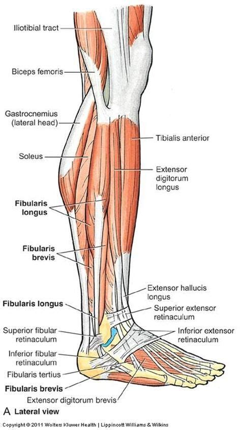 lower extremity hip musculature forces worksheet middle school