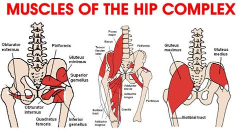 main muscles of hip flexion