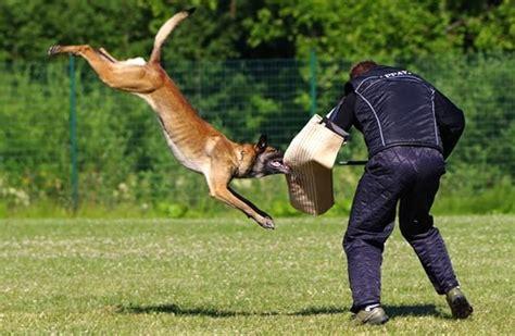 Malinois Attack Dog Training