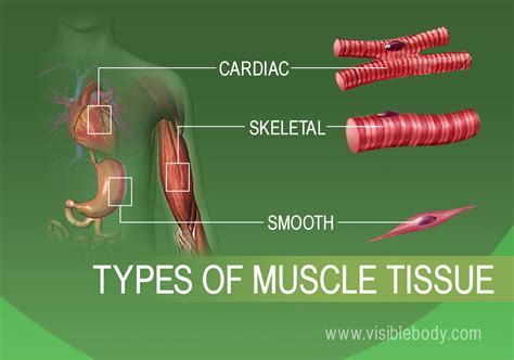 Muscle Systems, Types, Tissue, & Facts Britannica.com.