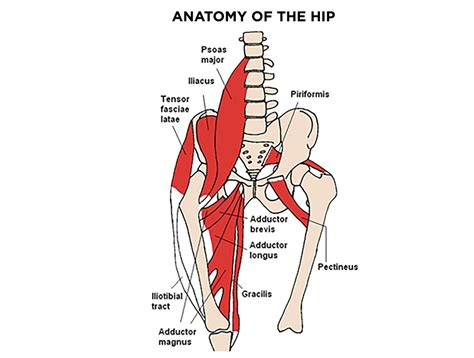 muscles in hip joint that cause flexion therapeutics