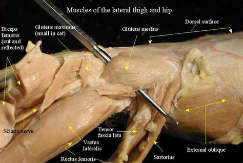 muscles of hip and thigh cat lateral superficial cutaneous nerve