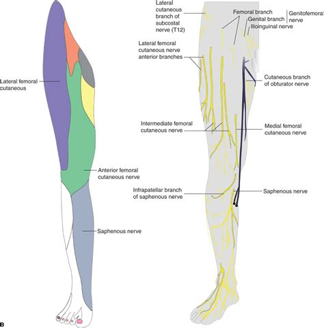 muscles of hip and thigh cat lateral superficial femoral nerve