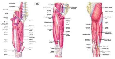 muscles of the hip and lower limb diagrams of digestive system