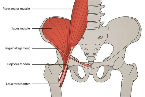 muscles of the hip joint diagrams pictures