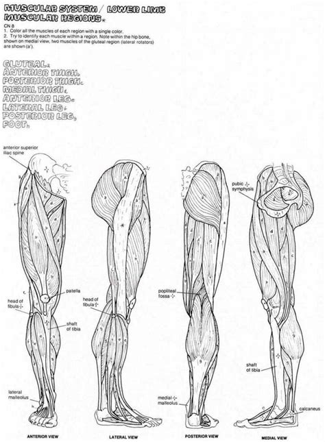 muscles of the hip thigh and leg anatomy coloring workbook 2nd