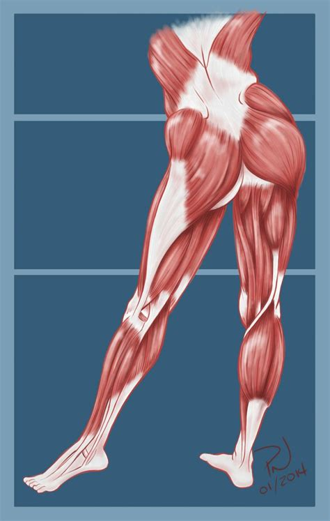 muscles of the hip thigh and leg diagram anatomy of a human