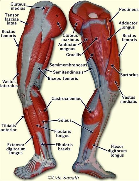 muscles of the hip thigh and leg diagram bones chest