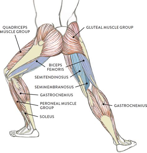 muscles of the hip thigh and leg diagram sketch science