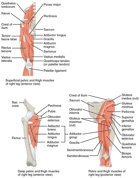 muscles of the hip thigh and leg labeling front and back