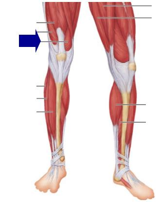 muscles of the hip thigh and leg quizlet vocabulary