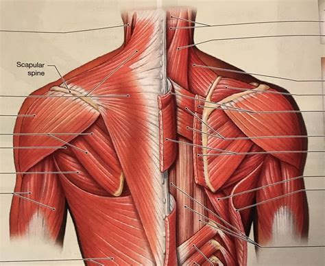neck and back musculature anatomy chart