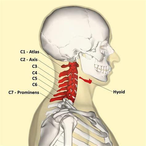neck diagram bones