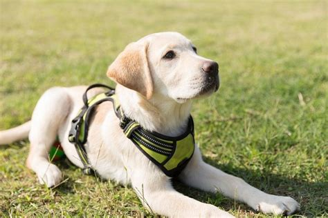 Obedience Training For Labrador Retriever Puppies