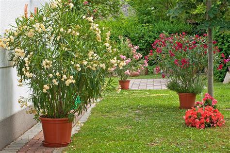 Oleander überwintern Im Freien