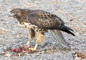Copyright Lawyer Hours Orangeburg Lawyer Fined 30000 For Killing Red Tailed