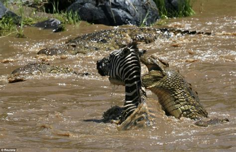 pain in bend of leg by hippos vs crocodiles