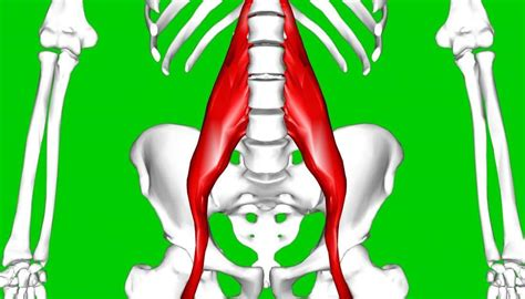 painful hip flexor muscles diagram