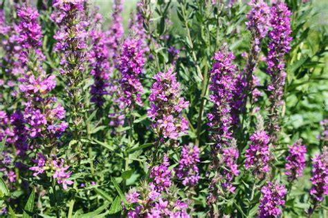 Pflanze Garten Lila Blüten