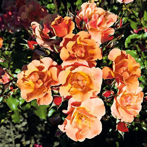 Pflanzenversand Rosen
