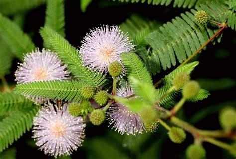 Pflege Mimose