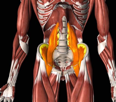 pictures of hip flexor muscles iliopsoas muscle