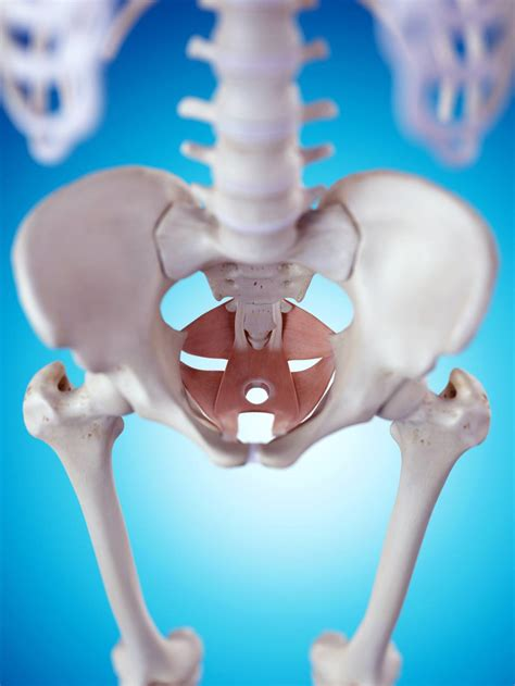 pictures of the male pelvis &hip bones