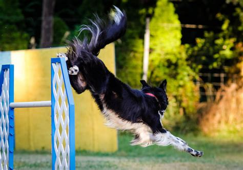 Portland Dog Agility Training