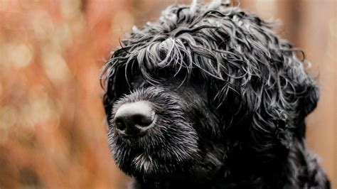 Portuguese Water Dog Crate Training