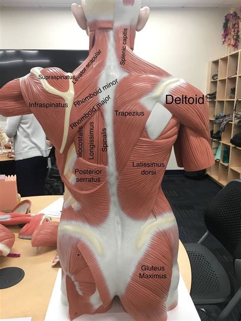 posterior musculature of the human body