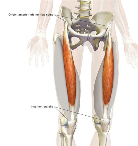 pulled flexor muscle rectus femoris muscle attachments of scapula