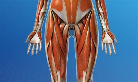 quad and hip flexor anatomy muscles of the human