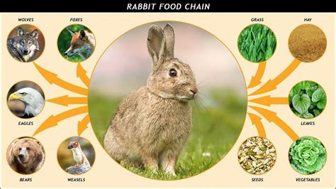 rabbit food chain