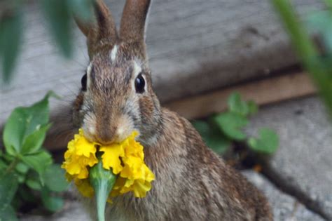 rabbits are eating my marigolds