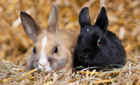 rabbits small breeds
