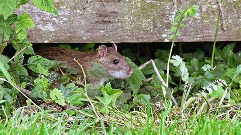 Rattenplage Im Garten
