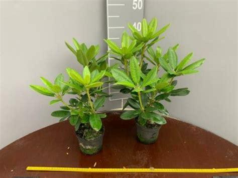 Rododendrons Te Koop